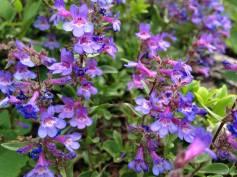 Wildflowers, Big Cottonwood Canyon, UT