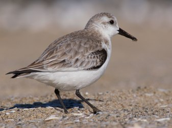Sandpiper on the Beach. Los Angeles, CA