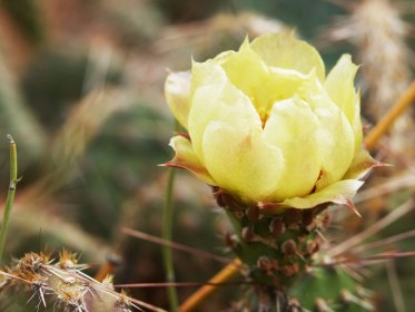 Cactus Flower, Canyonlands National Park