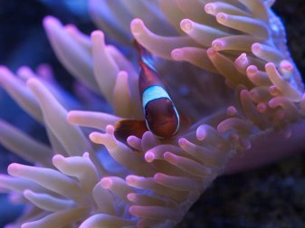 Clownfish and Anemone, Salt Lake City, UT