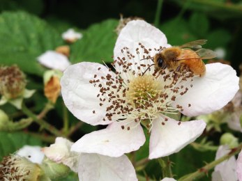 Honeybee on Balckberry Flower, Seattle, WA