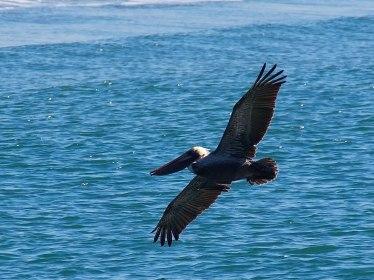 Pelican, Los Angeles, CA
